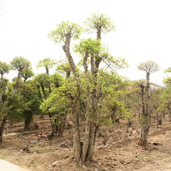 工程用白蜡大树的形态特征