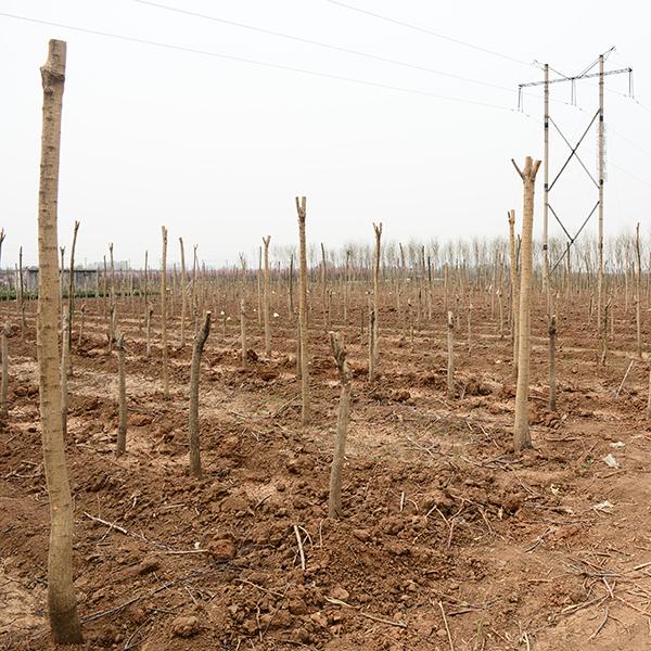 国槐种植基地