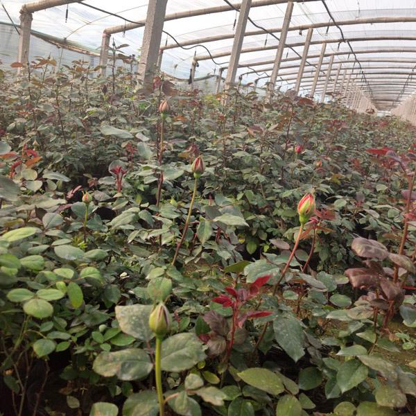 山东绿化月季种植基地