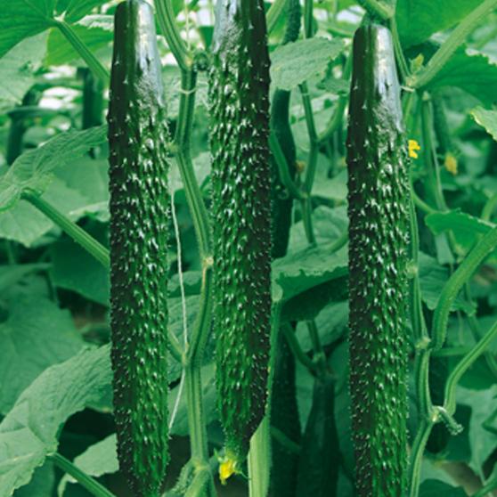 吉林乳瓜种子供应商:乳瓜怎么种植?