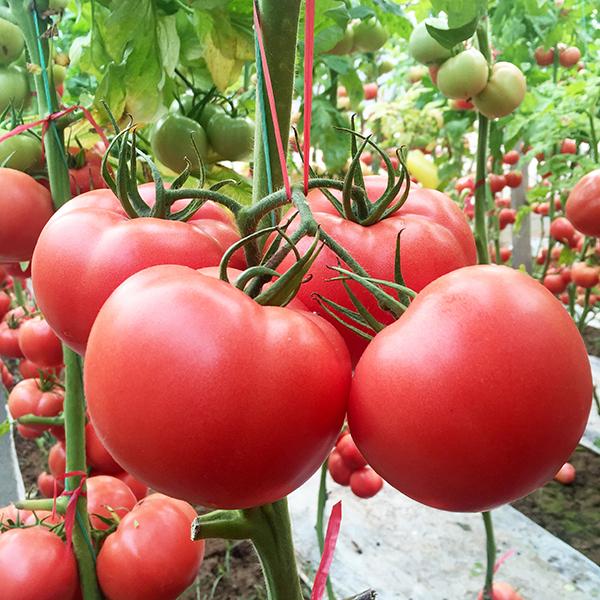 特色番茄种子批发厂家:如何种植小番茄?