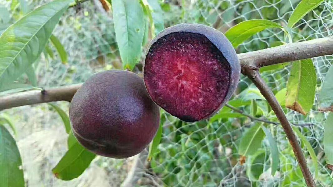 桃树新品种
