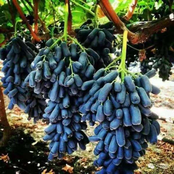 甜蜜蓝宝石葡萄