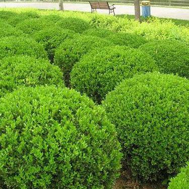 辛庄北海道黄杨基地:如何管理节水耐旱植物北海道黄杨?