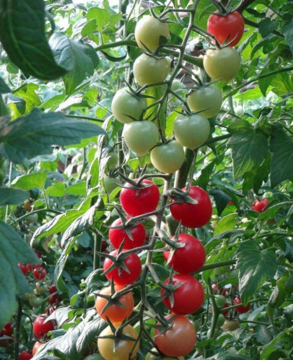 贝贝西红柿