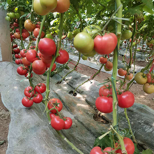 山东五彩椒种子的种法及市场价格多少钱一斤