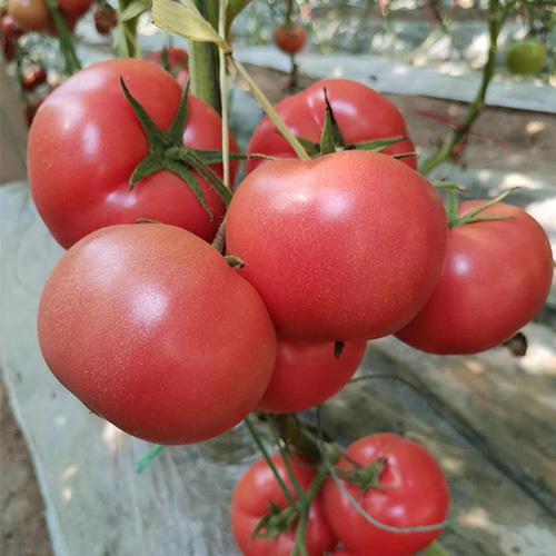 粉果番茄种子