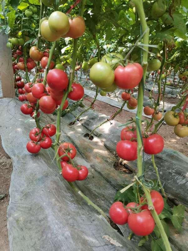 山东五彩椒种子怎么种植
